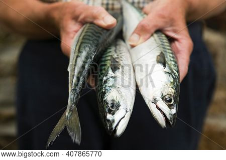Close Up Of Fisherman Holding Freshly Caught Mackerel