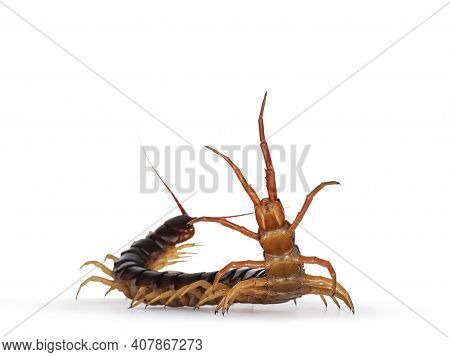 Adult Chinese Red-headed Centipede Aka Scolopendra Subspinipes Mutilans. Isolated On White Backgroun