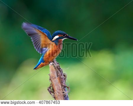 The common kingfisher (Alcedo atthis) also known as the Eurasian kingfisher in natural habitat