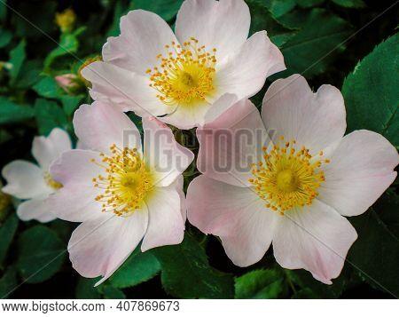 Wild Rose Hip Flower (rosehip) Briar Or Dogrose Branch With Leaf. Rose Hip Flowers And Leaf Closeup