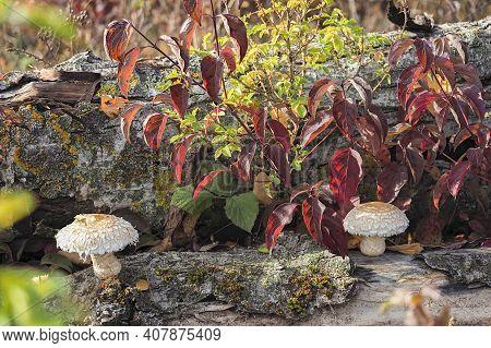 The Poplar Pholiota (hemipholiota Populnea) Is An Inedible Mushroom , An Intresting Photo