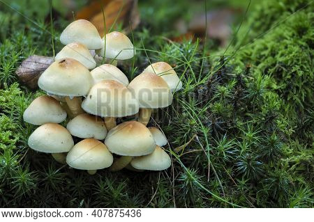 The Sulphur Tuft (hypholoma Fascuiculare) Is A Poisonous Mushroom , An Intresting Photo