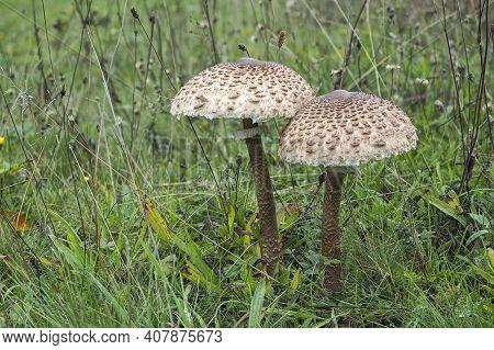 Macrolepiota Procera, The Parasol Mushroom, Is A Basidiomycete Fungus With A Large, Prominent Fruiti