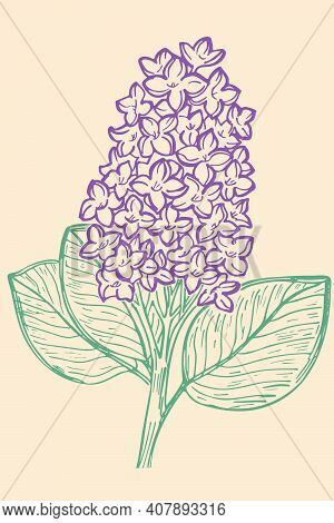 Hand-drawn Branch Of Lilac. Vector Color Sketch Of Lilac. Purple Flowers, Spring Flower. Isolated Ob