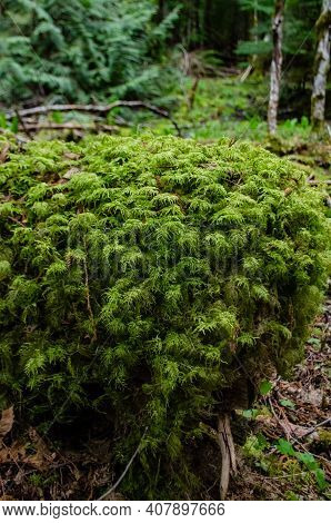 Swamp Plants, Mosses And Ferns In A Damp Forest.  Washington State