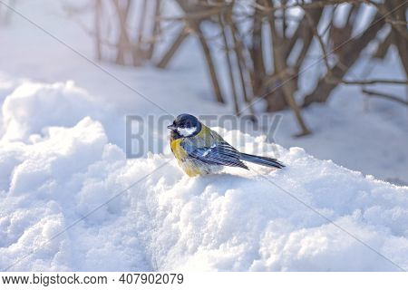 Titmouse In Winter, Small Bird With Yellow Breast And Blue Wings Sits In The Snow, Wintering Birds I