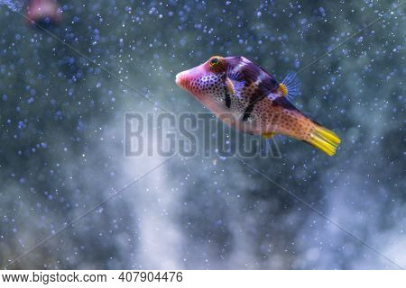 Purple Tropical  Angelfish With Bubbles Maldives Fauna