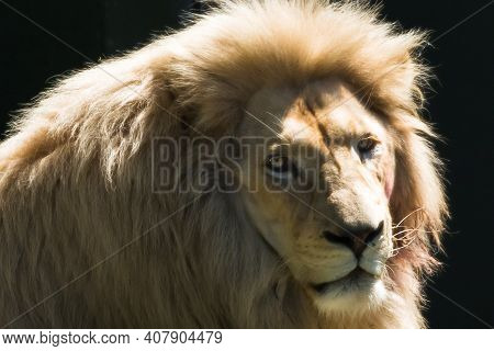 Close Up Of A Lion With Dramatic Light And Black Background