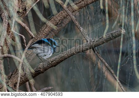 Blue Superb Fairy Wren In The Thick Of The Woods