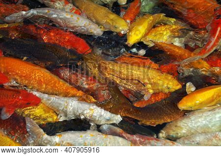 Colorful Decorative Fishes Float In Water, View From Above. Many Fishes In One Place, Many Colourful