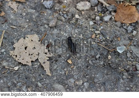 Anisolabis Maritima, Commonly Known As The Maritime Earwig Among The Fallen Leaves