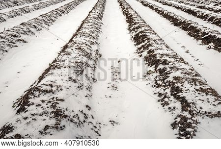 Converging Asparagus Beds In A Dutch Field In The Winter Season. A Layer Of Snow Is On The Field Wit