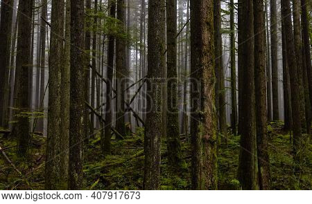 Canadian Rain Forest. Beautiful View Of Fresh Green Trees In The Woods. Taken In Lynn Valley Cannyon