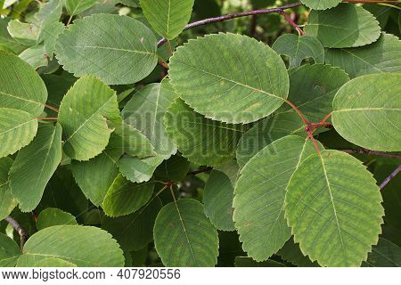 A Background Of Green Alder Leaves On A Shrub