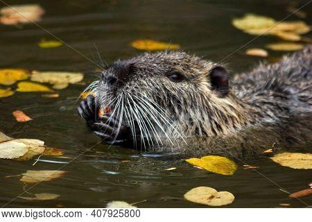 Nutria Or River Beaver (rat), Muskrat. Nutria [myocastor Coypus] Swamp Rat With Big Tooth In River W