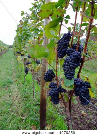 French Grapes Pinot Noir In Alsace Region