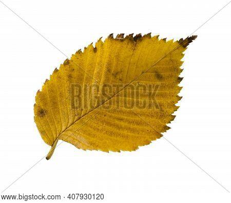 Autumn Elm Leaf Isolated On White Background.