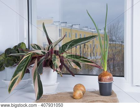 Sprouted Onion Bulb On Windowsill In Winter. Onion With Sprout And Indoor Flowers In Room. Green Oni