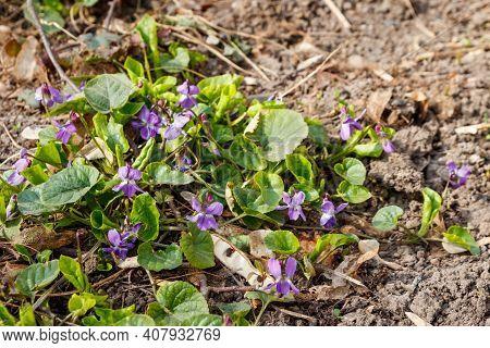 Wild Violets (viola Odorata, Sweet Violet, English Violet, Common Violet Or Garden Violet) On A Mead