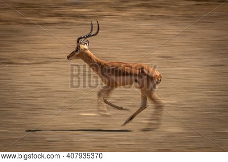Slow Pan Of Cantering Male Common Impala