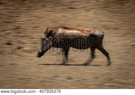 Slow Pan Of Common Warthog Heading Left