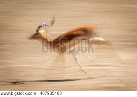 Slow Pan Of Galloping Male Common Impala