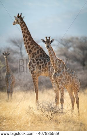 Southern Giraffe And Baby Stand Near Another