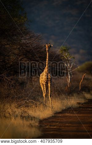 Southern Giraffe Stands Beside Track At Sunset