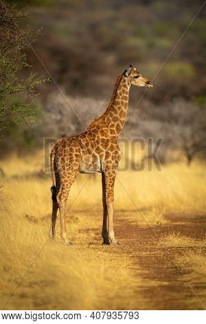 Southern Giraffe Stands By Tree In Profile