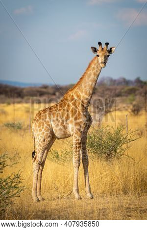 Southern Giraffe Stands Eyeing Camera In Savannah
