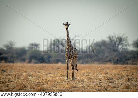 Southern Giraffe Stands Facing Camera On Savannah