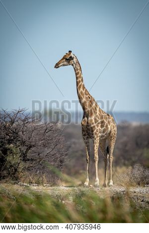 Southern Giraffe Stands On Ridge Near Bushes