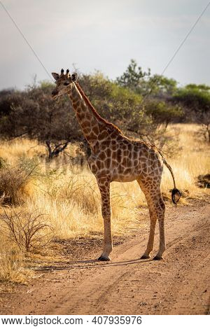 Southern Giraffe Stands On Track Eyeing Camera