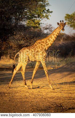 Southern Giraffe Walks Past Tree Eyeing Camera