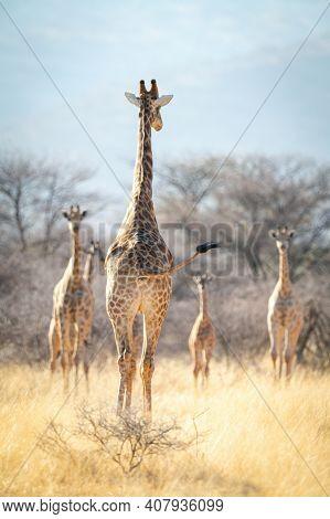 Southern Giraffe Walks Towards Others Near Trees