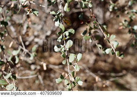 Simple Alternate Distally Emarginate Oblanceolate Entirely Margined Leaves Of Bigpod Buckbrush, Cean
