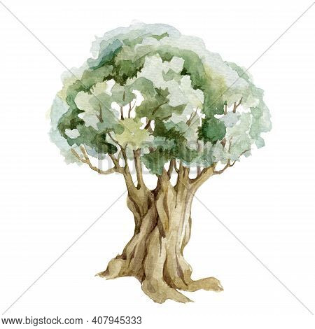Old Olive Green Tree Watercolor Illustration. Olive Organic Natural Botanical Plant. Hand Drawn Leaf