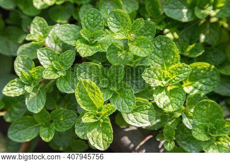 Fresh Mint Leaves Growing In The Garden. Homegrown Vegetables. Fresh Mint Organic Vegetables. Colorf