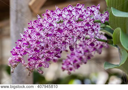 Rhynchostylis Orchid In Spring, Spring Background. Spring Composition, Spring Card, Colorful Spring