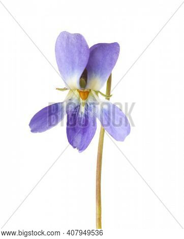 Flower of Wood Violet (Viola Odorata) isolated on white background. Shallow depth of field. Selective focus.