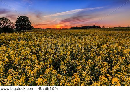 Yellow Flowers From Rapeseed In Spring In Germany In The Evening. Rape Field At Sunset With Trees An