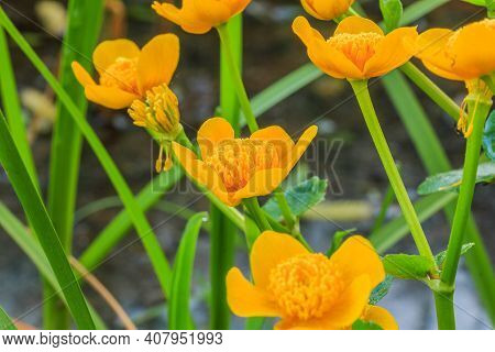 Marsh Marigolds With Yellow Flowers In Detail. Plant With Green Flower Stems In A Wetland. Pollen On