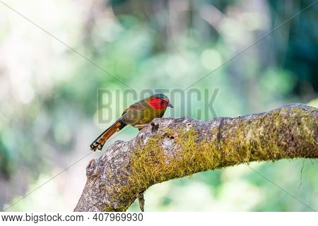 Red-faced Liocichla On The Branch In The Forest