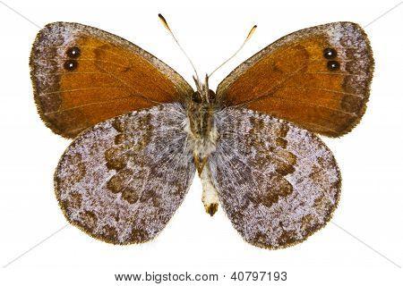 Erebia Tyndarus (suizo tirabuzón metálico)