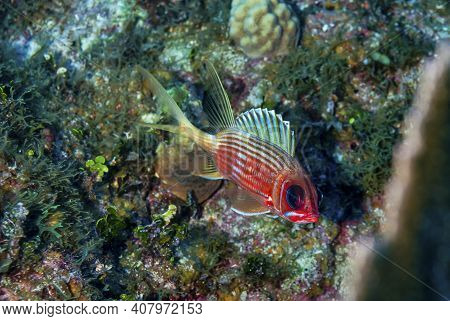 Longjaw Squirrelfish Swimming Over The Reef In Little Cayman