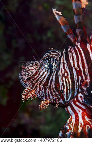 Portrait Of A Caribbean Lionfish Swimming Over Coral Reef