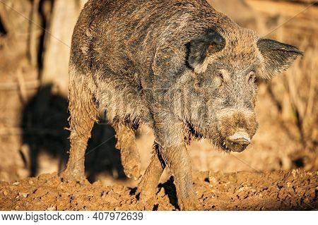Belarus. Wild Boar Or Sus Scrofa, Also Known As The Wild Swine, Eurasian Wild Pig Walking In Autumn
