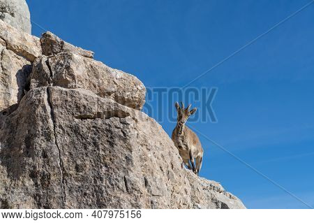 A Young Iberian Wild Mountain Goat Perched On A High Rocky Promontory Under A Clear Blue Sky