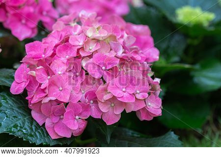 Hydenyia Flower. Flower In Garden At Spring Day. Flower For Decoration And Agriculture Concept Desig