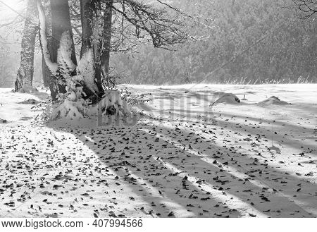Grayscale. October Mountain Beech Forest In Sunshine With First Winter Snow And Last Autumn Leafs Ov